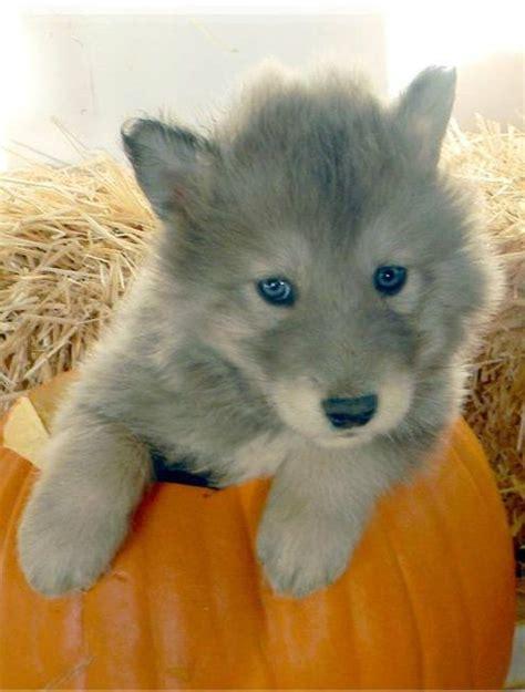 wolf hybrid puppies 1000 ideas about wolf hybrid puppies on wolf dogs wolf husky and wolves