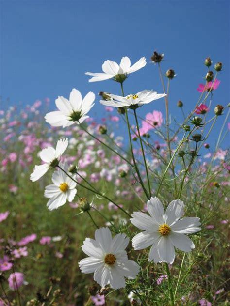 Tattoos Bilder Blumen 4266 by Die Besten 25 Cosmos Flower Pictures Ideen Auf