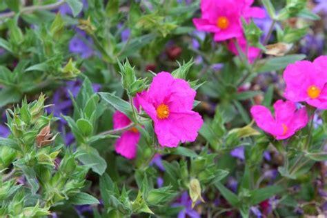 shrub flowers cistus x pulverulentus sunset magenta rock