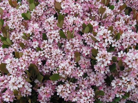 arbusti con fiori arbusto a fiori rosa