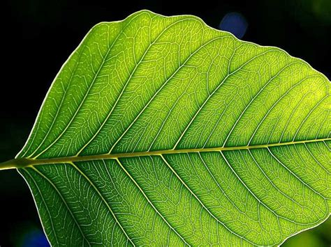 patterns in nature leaf structure and function mathematics links structure to function in leaves