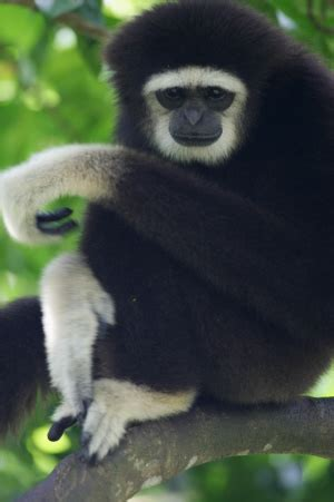 barbary lion   white handed gibbons