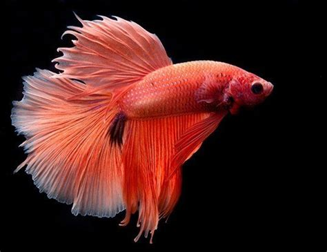 siamese fighting fish life expectancy