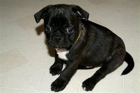 bugg puppies bugg boston terrier pug mix info temperament puppies pictures