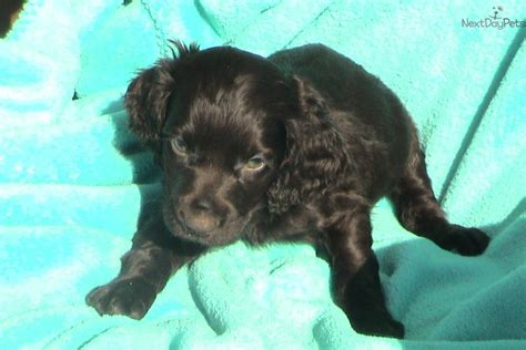 boykin spaniel puppies for sale in sc boykin spaniel puppy for sale near greenville upstate south carolina 1a5efe0b e281