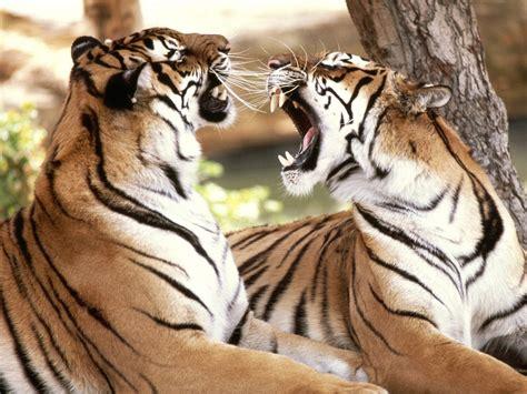 imagenes de leones besandose wallpapers fondos de pantalla imagenes p 225 gina 32
