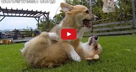 corgi puppies missouri these adorable corgi puppies running in slo mo will brighten up your day