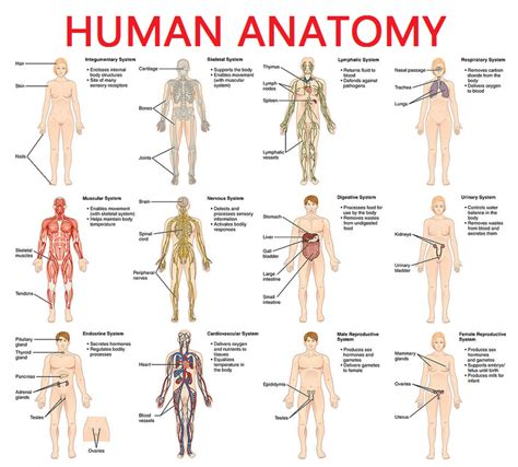 full female anatomy full picture real human body full human body diagram