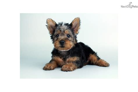 yorkie silky terrier for sale silky terrier see details breeds picture