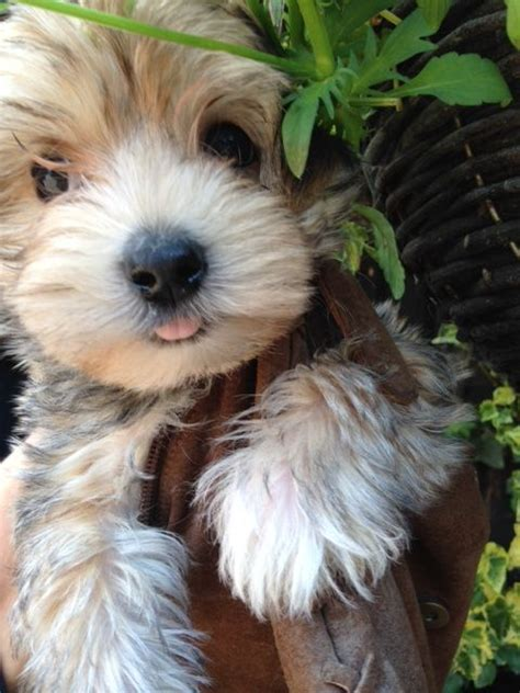 morkie puppies for sale indiana morkie puppies for sale chinnor oxfordshire pets4homes