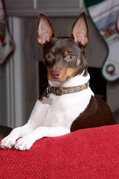 rat dogs 25 best ideas about rat terrier puppies on rat terriers rat terrier dogs