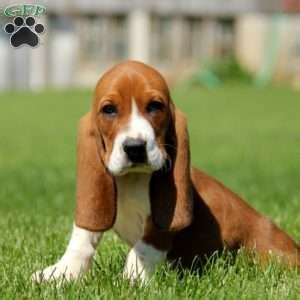 basset hound puppies for sale in pa basset hound puppies for sale in in pa greenfield puppies