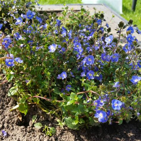 Ga Blue Peduncularis Blue Speedwell