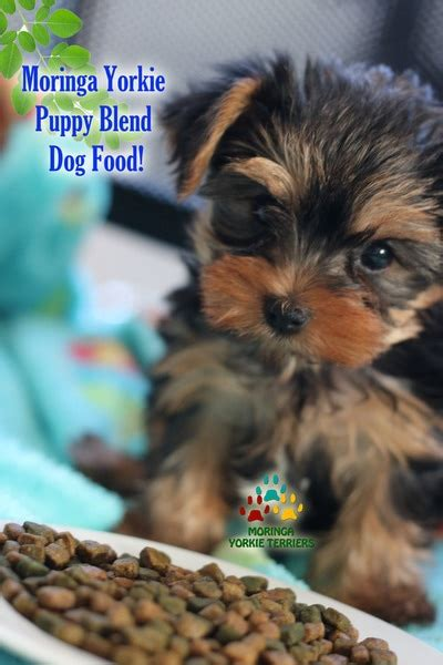 yorkies for sale in modesto ca yorkie puppies for sale teacup dogs colorful yorkies merle terriers