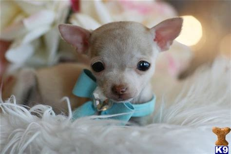 chihuahua puppies for sale ta chihuahua puppy for sale finance a beautiful chihuahua today all sizes ta 5 months
