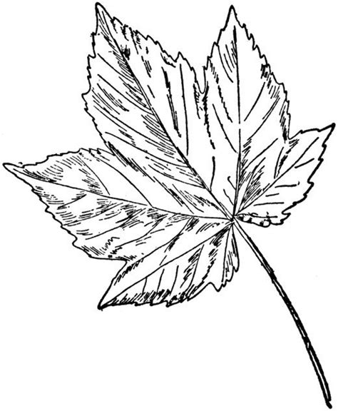 Tembakau Rawing sycamore leaf template coloring home