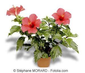 Hibiskus Als Zimmerpflanze by Zimmerhibiskus Hibiskus Rosa Sinensis Pflege Als