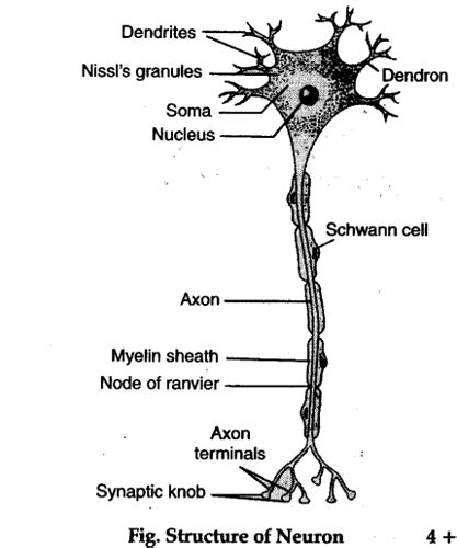 diagram of neurone describe the microscopic structure of a neuron also draw
