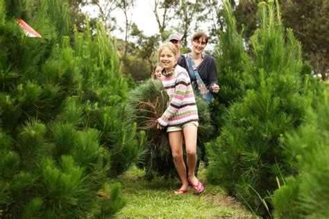 buy christmas tree cuttings top tree cutting experiences in the houston area 171 cbs houston