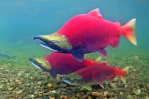 sockeye salmon 3 bristol bay alaska