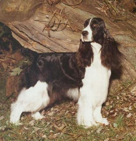 photo courtesy of gentry english springer spaniels ch tiffany s moonlite esspecial