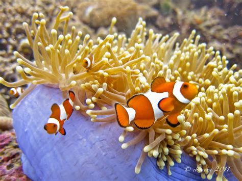 Great Tas Belanja Lipat Nemo Fish ocellaris clownfish with magnificent sea anemone project noah