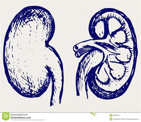 cross section kidney cross section kidney stock vector image 50738417