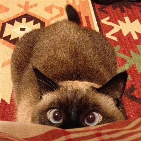 8 Reasons To Get A Siamese Cat by 220 Ber 1 000 Ideen Zu Siam K 228 Tzchen Auf Siamese
