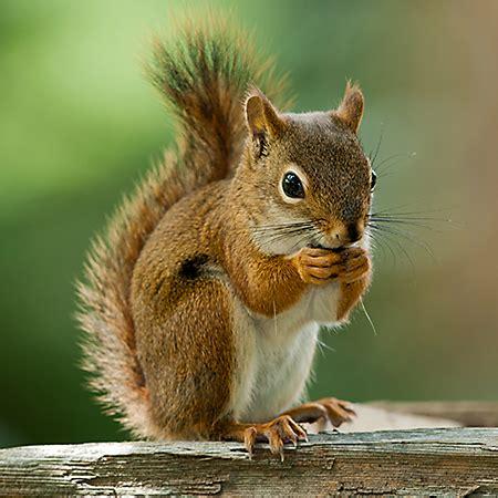 squirrel images 50 squirrel khiskoli rodent photos wallpapers