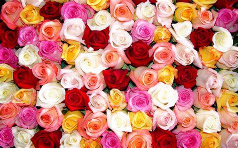 colorful roses wallpaper in romantic roses flowers roses and flowers desktop wallpaper