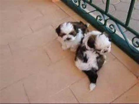 5 week shih tzu our shih tzu pups 5 weeks