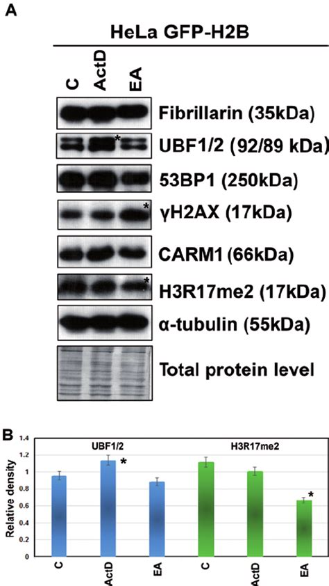 protein levels protein levels studied by western blots and protein levels