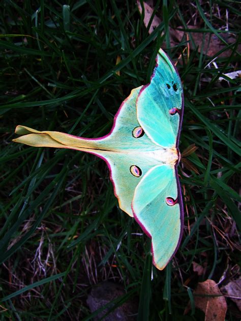 luna moth tattoo my for the moth is endless a dear animal totem