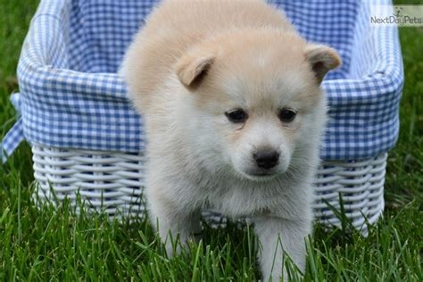 puppies for sale fort wayne pomsky puppies for sale fort wayne indiana breeds picture