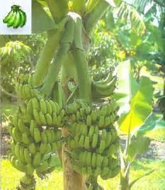 bananas on tree buy banana tree plants