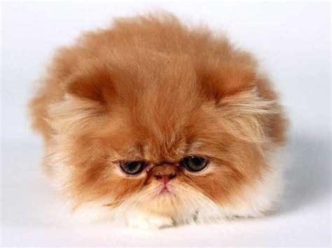 gatto persiani 7 razze di gatti piu conosciute expofeline