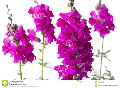 bocca di fiori fiori rosa di bocca di fotografia stock immagine