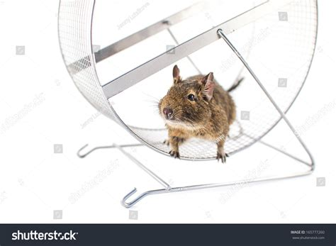 protein wheel protein degus wheel stock photo 165777260