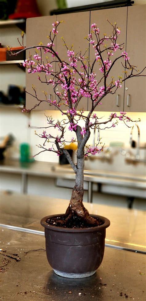 alberelli in vaso cercis canadensis redbud bonsai bonsai alberelli