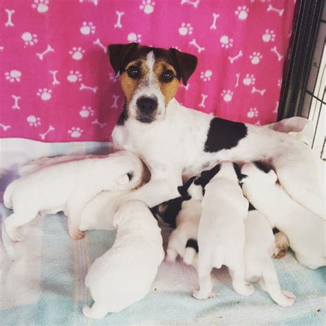 parson puppies for sale beautiful parson terrier puppies for sale driffield east of