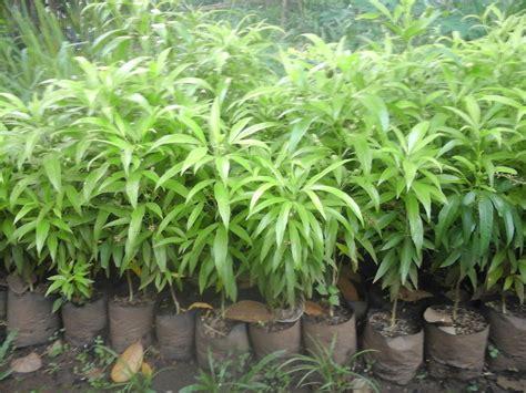Bibit Tanaman Serai Bumbu jenis jenis tanaman anti nyamuk sistemhidroponik