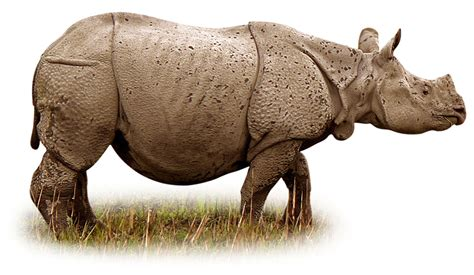 Indian Rhinoceros Facts | Indian Rhino | DK Find Out
