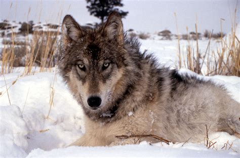 wolf breeds list feds to remove gray wolves from endangered species list compass points