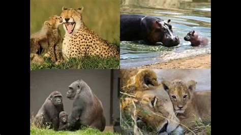 imagenes animales con sus crias las mam 193 s animales y sus peque 209 as crias animal family