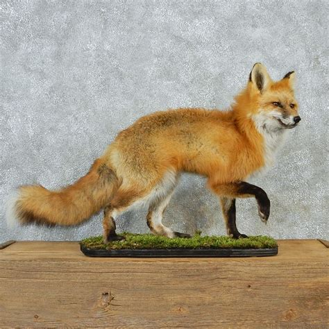 Fox Home Decor Red Fox Walking Mount For Sale 12673 The Taxidermy Store