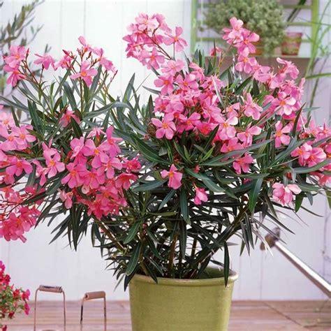 piante da terrazzo esposto a nord oleandro in vaso piante da terrazzo coltivare l