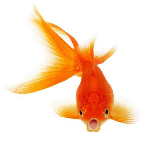 Goldfish and Betta   Mr. Fatta