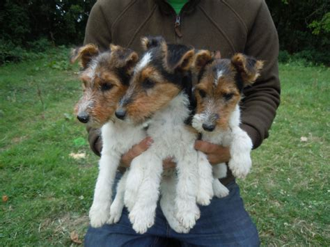 wire hair fox terrier puppies pedigree wirehaired fox terrier puppies horley surrey pets4homes