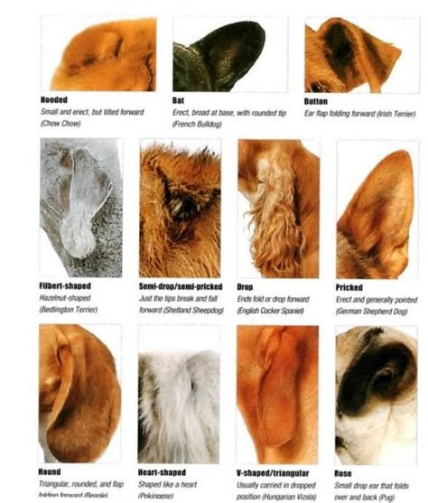 ear types ears ˁ ᴥ ˀ dogica 174 3d ear types shapes costumes crop dock tap by