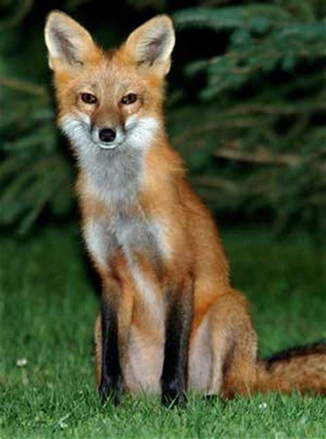imagenes de paisajes con zorros el zorro y el fenec depredadores